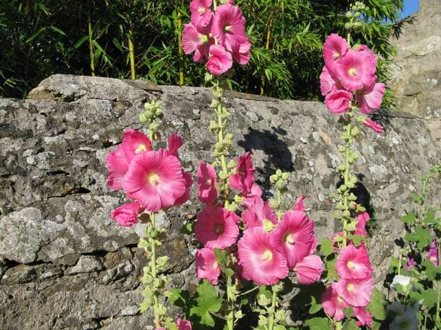 Rose trémière EN