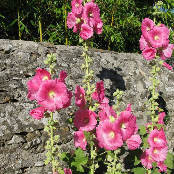 Roses, Saint-Sauveur, Ile d'Yeu